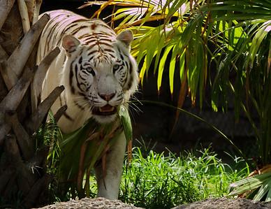 Tiger_BW_Print_2461