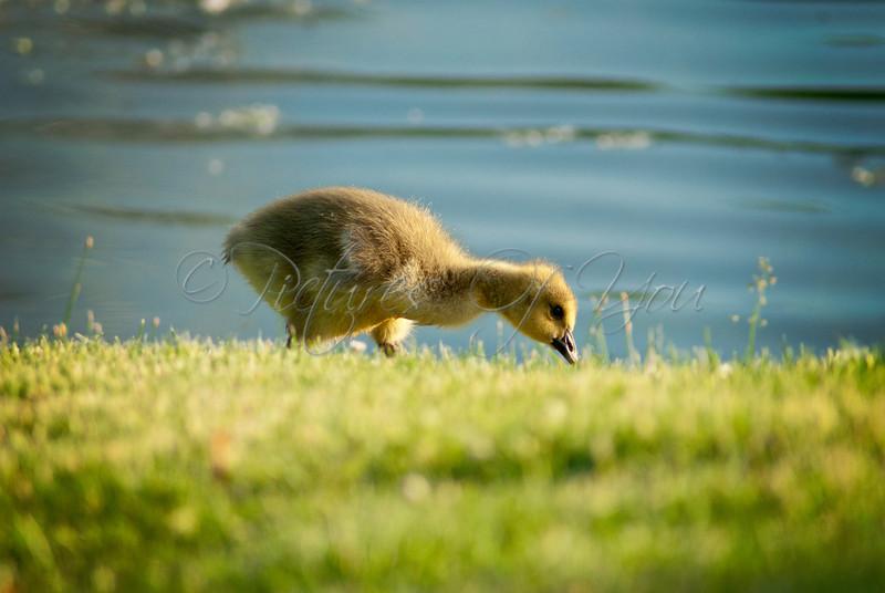 Baby gosling at Buckingham Pond