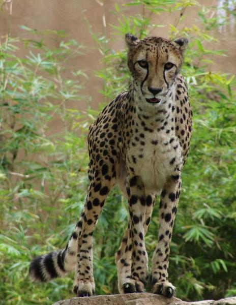 Cheetah_6235a