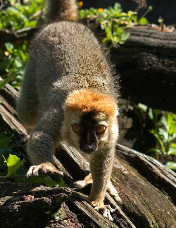 Lemur_3005