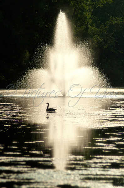 Goose in Buckingham Pond at sunset in front of water fountain