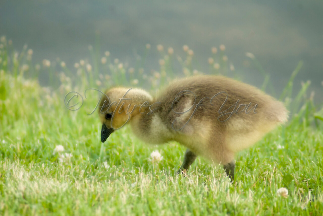 A cute little gosling looking for an early evening snack.  Buckingham Pond, Albany, NY.