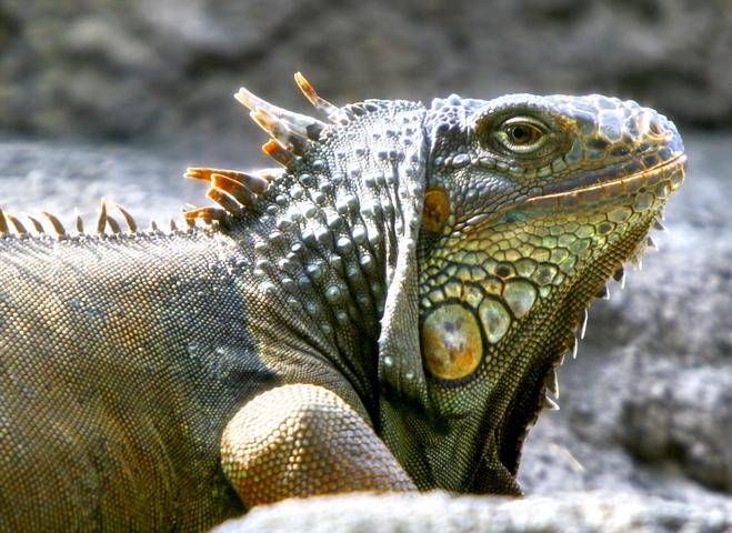 Iguana_Side_4109