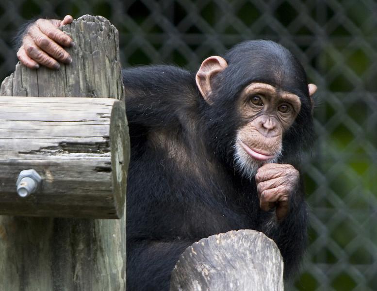 Chimp_9748