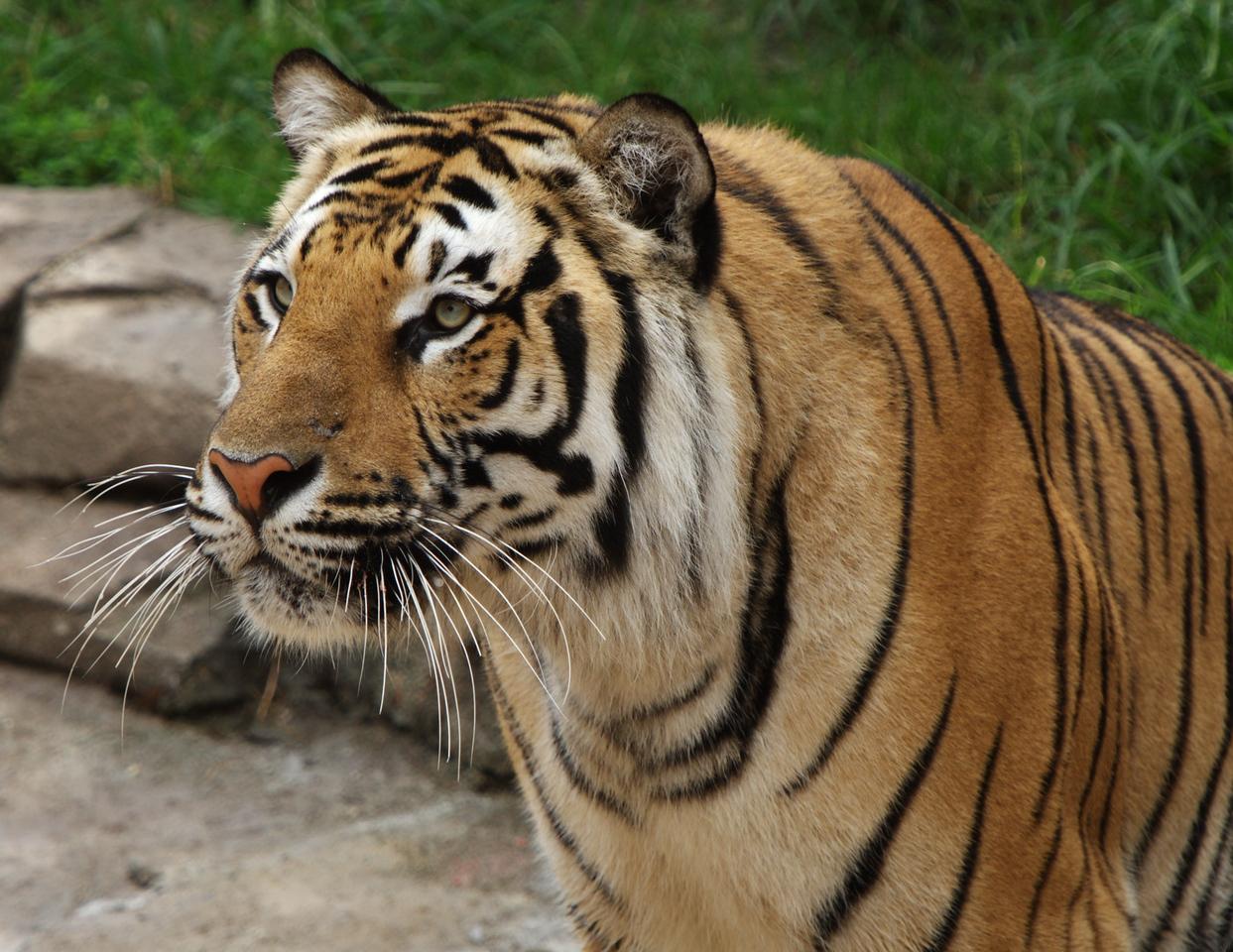 Tiger_Orange_Print_2492