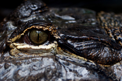 Gator_0004