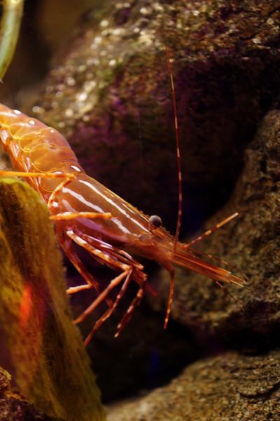 Shrimp_0196
