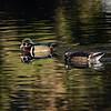 Sterne Park (Littleton, CO) Ducks