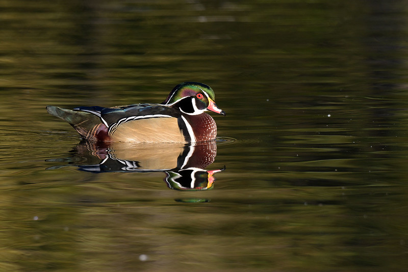 Sterne Park (Littleton, CO) Wood Duck