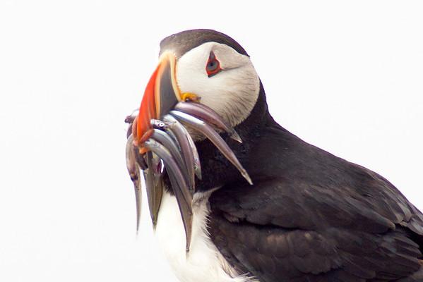 Wild Birds of Maine
