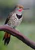 Male Flicker