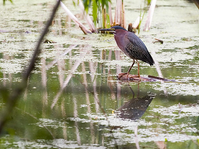Green Heron  Eastman Lake, Rochester, NY