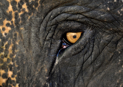 Eye to Eye with a Thai Elephant
