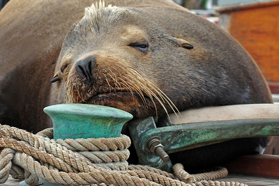 Squatter -  A sea lion snoozes on the deck of a sailboat.