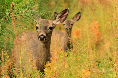 California Mule Deer ~  Doe with her young one