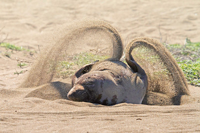Sunscreen ~ An elephant seal cover's herself with sand.