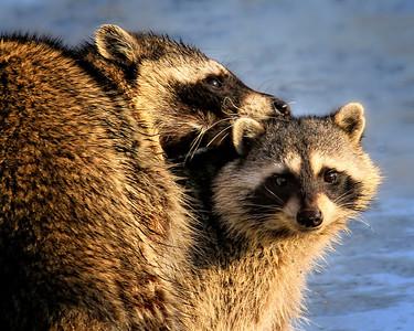 Racoon pair