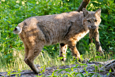 Bobcat with squirrel