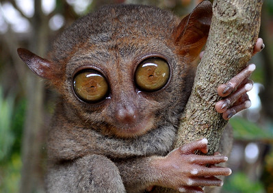 Philippine Tarsier on the Island of Bahol