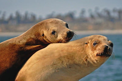 Mommy & Me ~ Sealions snuggle & sun on a barge mooring.