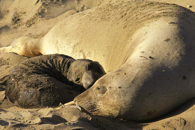Newborn Elephant Seal with Mama