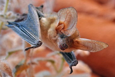 Hanging Out ~ A brown bat in the Nevada Desert