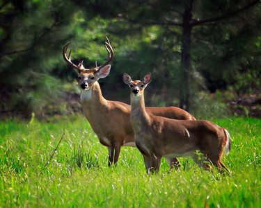 Beautiful Couple ~ White Tail Deer