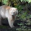 Spirit Bear Rainforest