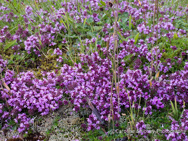 Wild Thyme growing on the Mendip Hills