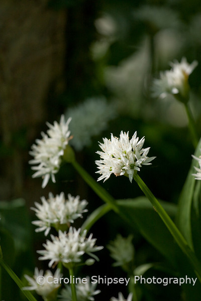 Wild Garlic in Masbury Wood