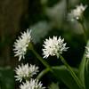 Wild Garlic in Masbury Wood