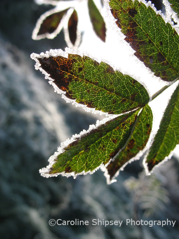 Leaves with frost