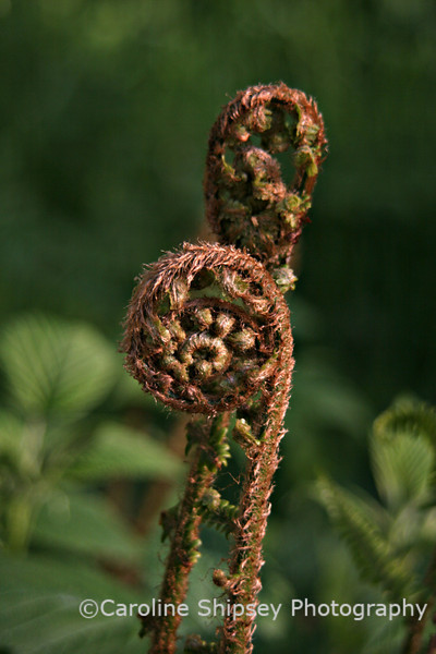 Bracken frond unfurling