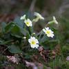 Primroses brightening up a gloomy spring day
