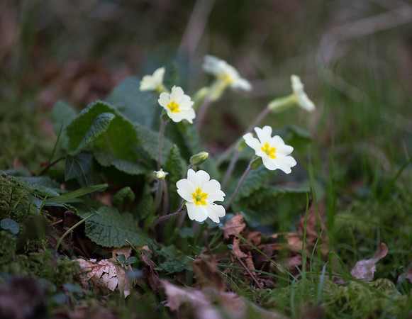 Primroses brightening up a gloomy spring day