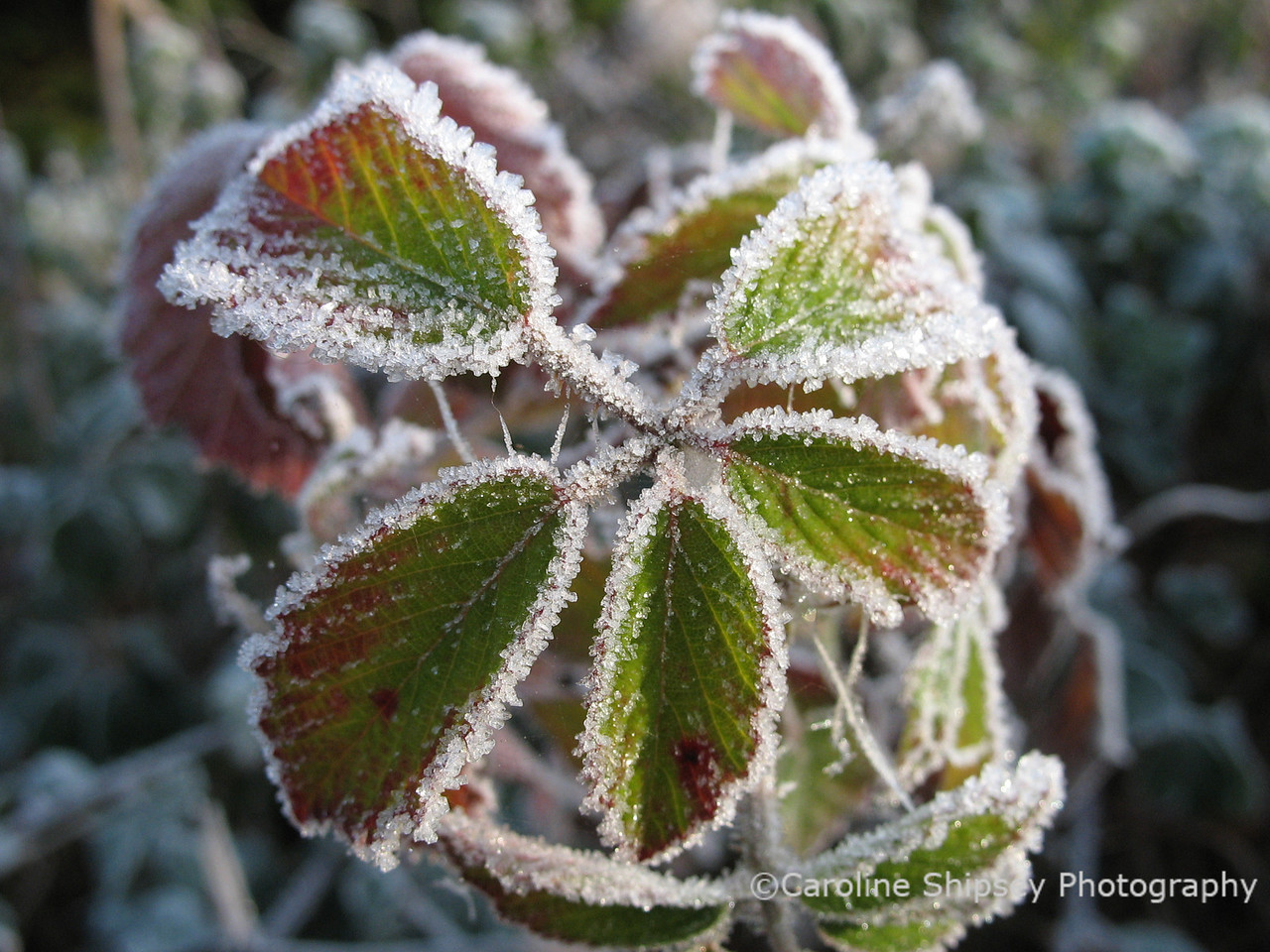 Leaves with frost 4