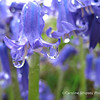 Bluebells after rain