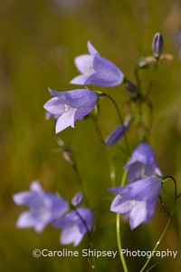 Harebells, these pretty  and delicate blue flowers are prolific on the Mendips in late summer.