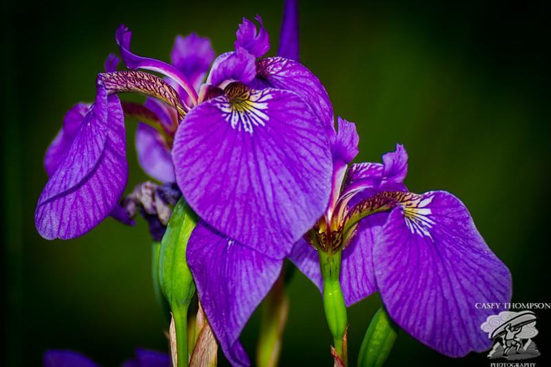 Wild Iris at Wander Lake