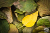 Yellow Leaf by Brendan Thompson - Age 10 - October 6, 2013