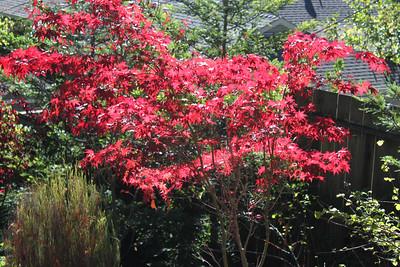Red leafed tree - backlit