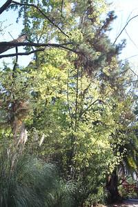 Yellow leaves behind pine tree