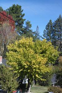 Brightly yellow leafed tree