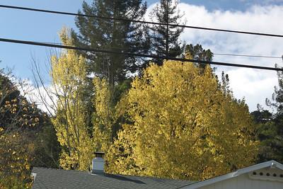Autumn yellow foliage behind a house