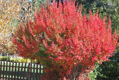 Red leafed bush
