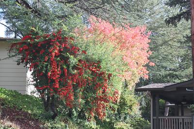 Pyracantha bushes and autumn foliage