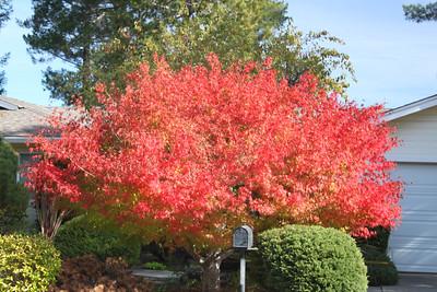 Vibrant red leafed tree