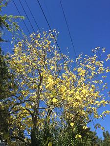 Tree losing its leaves