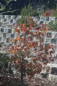Small tree turning and losing leaves