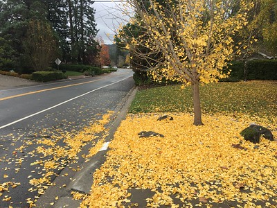 Yellow carpet of fallen leaves